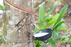 Extracción de la planta de goma líquida Fotos de archivo