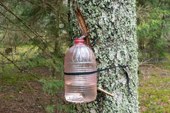 Extracción de la savia del abedul en el bosque Imagenes de archivo