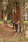 Extracción de Resine en una plantación del pino en Galicia, España imagenes de archivo
