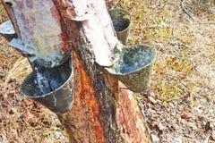 Extracción de la resina natural de troncos de árbol de pino Foto de archivo libre de regalías