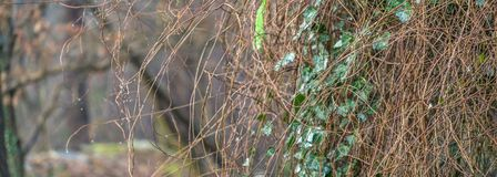 Extract from the ivy-covered outer wall of a hut, panorama, header for a website. Stitched Stock Photography