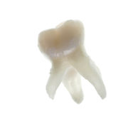 Extracted baby molar tooth with roots Stock Photos