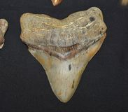 Great white shark tooth. The extracted tooth of an Oceanic Great white shark from the Pacific ocean stock image