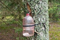 Extractie van berksap in het bos stock afbeeldingen