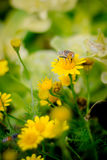 Extracting The Essence Royalty Free Stock Photo