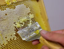 Extracting Honey, the old fashioned way. Uncapping with hands tools. Close up of Man Human Hand Extracting Honey from Yellow Honeycomb. Beekeeper Cuts Wax Off Stock Image