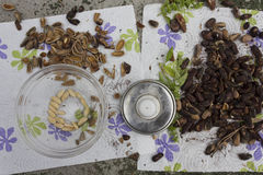 Extracting nuts from pinecone Stock Photography