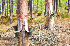 Extraction of natural resin from pine tree trunks - (Europe - Po Royalty Free Stock Photo