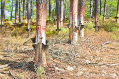 Free Extraction Of Natural Resin From Pine Tree Trunks Stock Images - 69904294