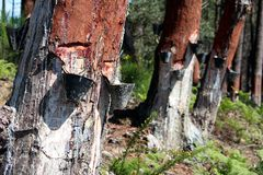 Extraction of resin. In a portuguese pine forest Royalty Free Stock Photos