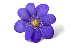 Extracto de la flor violeta Foto de archivo libre de regalías