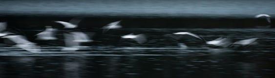 Extracto de la gaviota del vuelo imágenes de archivo libres de regalías