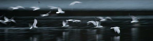 Extracto de la gaviota del vuelo fotos de archivo