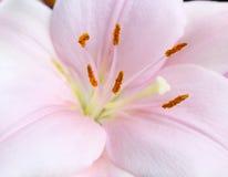 Extracto de la macro de la flor del lirio Fotografía de archivo