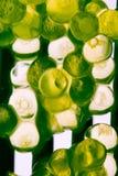 Extracto de la macro del huevo de la trucha Imágenes de archivo libres de regalías