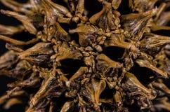 Extracto de la naturaleza: Mirada cercana en la vaina de la semilla de un árbol de Sweetgum Imagenes de archivo