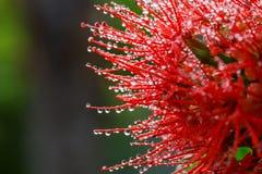 Extracto de los descensos de rocío del agua en la flor Foto de archivo libre de regalías