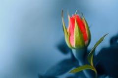 Extracto de Rose Fotografía de archivo libre de regalías