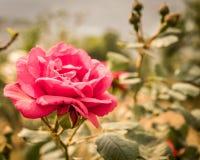 Extracto de Rose Flower rosada: Sus brotes y hoja están en el fondo Es conveniente para el uso como fondo para el trabajo en imagen de archivo