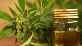 Extracto del aceite del cáñamo y planta médicos del cáñamo almacen de metraje de vídeo