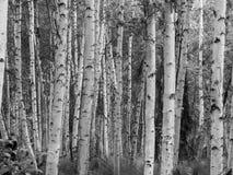 Extracto del bosque del abedul Fotografía de archivo libre de regalías