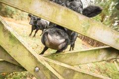 Extracto del ganado Fotos de archivo