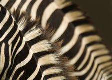 Extracto doble de las cebras Imagenes de archivo