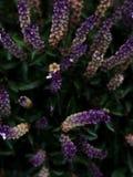 Extracto natural en los tonos violetas fotografía de archivo