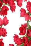 Extracto rojo de la flor del tulipán Fotografía de archivo