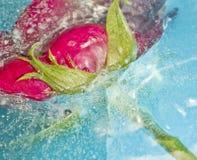 Extracto rojo del hielo de Rose Frozen In Cracked Blue Imagen de archivo libre de regalías