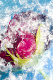 Extracto rojo del hielo de Rose Frozen In Cracked Blue Fotografía de archivo