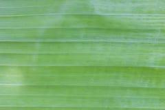 Extracto verde del fondo de la hoja del plátano Fotografía de archivo libre de regalías