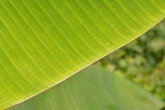 Extracto verde del fondo de la hoja del plátano Imagen de archivo libre de regalías