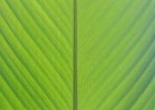 Extracto verde del fondo de la hoja del plátano Imágenes de archivo libres de regalías