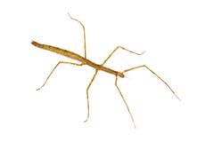 Extradentatum de Baculum de bâton d'insecte. Photos stock