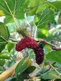 Extrakt för mullbärsträdfruktblad Arkivbilder