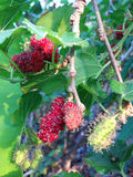 Extrakt för mullbärsträdfruktblad Royaltyfria Foton