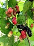Extrakt för mullbärsträdfruktblad Fotografering för Bildbyråer