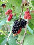 Extrakt för mullbärsträdfruktblad Royaltyfri Fotografi
