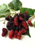 Extrakt för mullbärsträdfruktblad Royaltyfri Foto