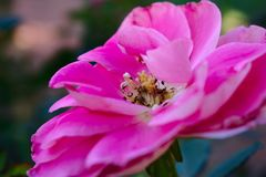 Extraordinarily pink royalty free stock image