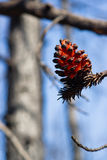 Extraordinary Forest Tree Pine Cone After Fire Stock Photos