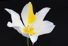 Extraordinary tulip on black background Royalty Free Stock Images