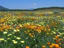 Extravagância do wildflower de Califórnia imagens de stock