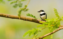 The extravagant Black-headed Batis royalty free stock image