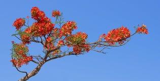 Extravagant, der Flammen-Baum, königliches Poinciana auf blauem Hintergrund Stockbild