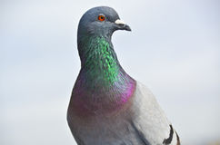 Extravagant Pigeon Colors Stock Images
