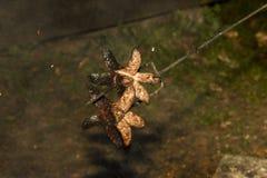 Extrawurst on fire. Extrawurst impaled on a fork stock photo