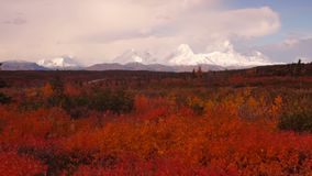 Extreem Levendig Autumn Leaves in Forest Near Mt Mckinley stock footage