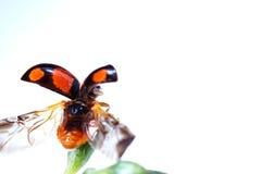 De macro van het lieveheersbeestje Stock Afbeeldingen